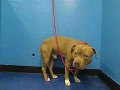 URGENT - STATEN ISLAND - CHAMP – #A0976644 - RETURNED 04/03/15 PERSONAL PROBLEMS - NEUTERED MALE, BROWN/TAN PIT BULL MIX, 5 Yrs., OWNER SURRENDER. Intake Date - 04/03/15