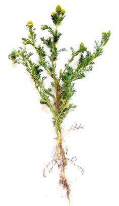 jadalne zioła | Niezłe Ziółko