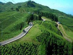 Tea Garden, Illam, nepal