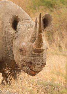 Black Rhino Cow.