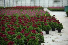 Pelargonium Grandiflora  Copyright © FLORPAGANO di A. Pagano - Ruvo di Puglia (Ba) www.florpagano.com