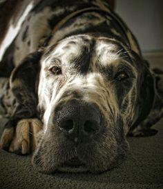 12 Low-Energy Dog Breeds - Great Dane