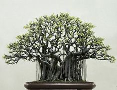 33 Awesome Bonsai Plant Design Ideas For Garden. If you are looking for Bonsai Plant Design Ideas For Garden, You come to the right place. Below are the Bonsai Plant Design Ideas For Garden. Bonsai Ficus, Bonsai Plante, Indoor Bonsai Tree, Pot Plante, Bonsai Garden, Bonsai Trees, Bonsai Forest, Bougainvillea Bonsai, Ikebana