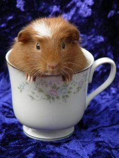 Guinea Pig in cup.