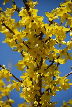 "<3 Forsythia ~   one of the first signs of spring   when I was a little girl we had one of these bushes but I called them ""For Cynthia's"" ... 'cause that's me."