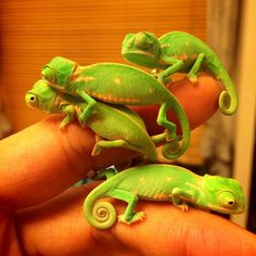 Bunch Of Cute Baby Chameleons