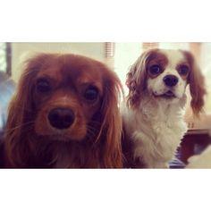 Whitney & Sofia - Cavalier King Charles Spaniels