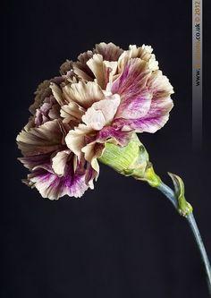 Antique Carnation