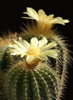 Cactus world beauty: Eriocactus (Parodia) warasii