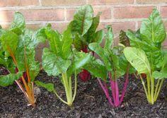 Zaden oogsten van warmoes of snijbiet