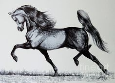 The Spirited Arabian Horse - Drawing  - The Spirited Arabian Horse Fine Art Print - sketch by Cheryl Poland - excellent drawing