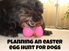Want to plan a fun egg hunt for your dog? Part holiday fun, part mentally stimulating nosework game! Check it out!