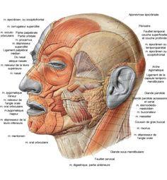 Vue latérale des muscles faciaux et de la mastication.