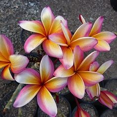 "The plumeria ""Goldmine"". Great bloomer with good keeping quality of intense bands and shading with a fire red eye."