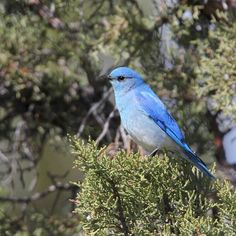 Hipster Birders take over ODFW's Instagram - Mountain Bluebird #MyODFWTakeover  While people typically think to visit parks when they want to find wildlife good bird habitat can be found in unexpected places. Mountain Bluebirds like this one nest in boxes constructed specially for them and youll see plenty of them at the Sage Hen Rest Area (yes a rest area!). This is always a great place to stretch our legs on the long drive to Malheur National Wildlife Refuge and a good reminder to keep an…