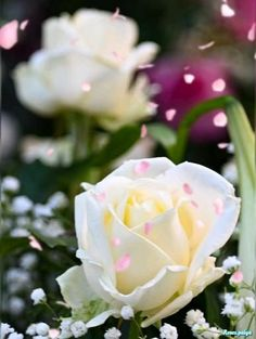 Rose Flower Wallpaper, Flowers Gif, Beautiful Rose Flowers, White Flowers, Good Morning Images Flowers, Good Morning Beautiful Quotes, Cute Black Wallpaper, Beautiful Nature Wallpaper, 4k Wallpaper Android