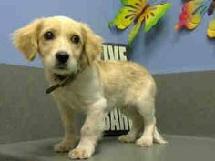 #A443319 (Moreno Valley, CA) male, cream and white Cocker Spaniel mix. The shelter thinks I am about 13 weeks old. I have been at the shelter since Dec 03, 2014 and I may be available for adoption on Dec 10, 2014 at 9:51AM.  https://www.facebook.com/135559229932205/photos/a.382565775231548.1073741961.135559229932205/396150363873089/?type=3&theater