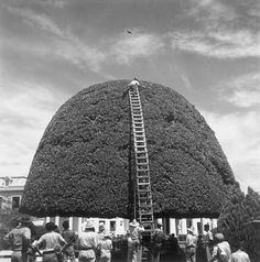 A species of fig receives a bi-montly pruning in Managua, Nicaragua, August 1944. PHOTOGRAPH BY LUIS MARDEN, NATIONAL GEOGRAPHIC