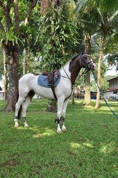 My next horse will definatley be a warmblood paint !