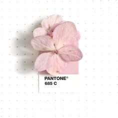 Pantone 685 color match. Pink hydrangea from my front yard. It survived hurricane Harvey that hit Houston and surrounding towns last week, including mine. My home was spared from the massive flooding that came with it, and I'm deeply thankful for...