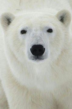 Beautiful Crisp White Polar Bear!
