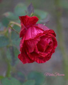 1,206 отметок «Нравится», 17 комментариев — Founder  @meiko_flora (@meiko_flowers) в Instagram: «. mfs #great_captures_flowers #quatroestacoes2 #blooming_petals #dogaobjektif #splendid_flowers…»