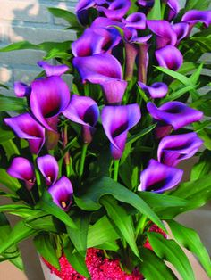 Zantedeschia 'Paco'. Amazing deep purple color!
