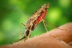 Moskito, Malaria, Plakette, Krankheit