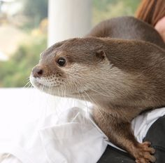 cute otter looking curious