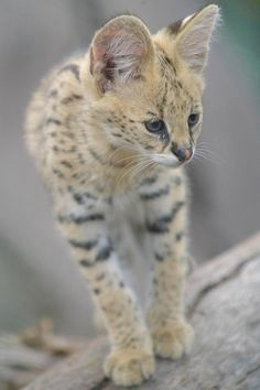 Photos cannot be used or taken without my permission. Kittens Cutest, Cats And Kittens, Big Cats, Baby Animals, Cute Animals, Funny Animals, Cat Brain, Warrior Cats Books, Serval Cats