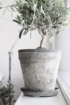 Olive sapling in grey pot ❤️