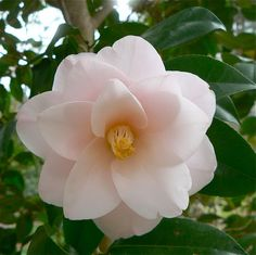 Rock Garden Plants, Garden Bulbs, Bonsai Garden, Fruit Garden, House Plants, Camellia Plant, Camellia Japonica, Exotic Flowers, Amazing Flowers