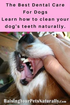 Dental care is so important for us and our pets. Yes, you need to clean your pet's teeth! The problem is most pet dental products contain terrible ingredients. Here are my tips on how to safely care for your dog's teeth. #raisingyourpetsnaturally