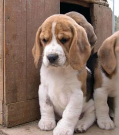 Are you interested in a Beagle? Well, the Beagle is one of the few popular dogs that will adapt much faster to any home. Whether you have a large family, p Cute Beagles, Cute Puppies, Dogs And Puppies, Pet Dogs, Dog Cat, Doggies, Pet Relocation, Animals And Pets, Cute Animals