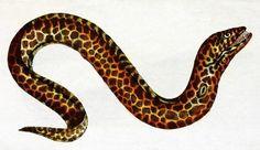 Murena cętkowana /Gymnothorax favagineus/ (Bloch 1801)