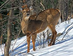 Huntsville, Ontario - Co-Exist with Deer