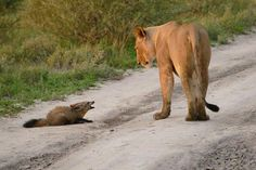 Most of us are extremely scared of wild animals especially lions Obviously who wouldn 39 t be afraid of these powerful predators that track down their prey and kill in no time So the worst was expecte...
