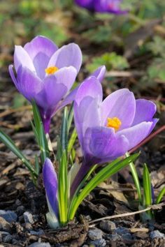 Closeup on two purple crocus flowers on a lawn ~ Photo by Anna Ivanova
