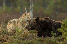WhatZViral Photographer Documented The Friendship Between A Grey Wolf And A Brown Bear By. Ran Finnish photographer Lassi Rautiainen captured the amazing sight of a female grey wolf and a Unusual Animal Friendships, Unusual Animals, Rare Animals, Wild Animals, Strange Animals, Beautiful Creatures, Animals Beautiful, Beautiful Wolves, Cutest Animals