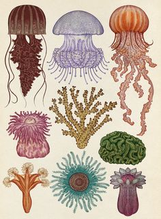 Cnidaria illustration from Animalium by Katie Scott. Cnidarians are incredibly diverse in form—they include the hydroids, jellyfish, anemones, and corals