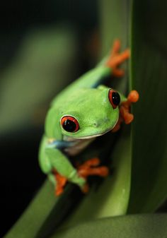 Red Eye Tree Frog by Patrick IU, via 500px