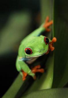 Red Eye Tree Frog by Patrick IU, via 500px