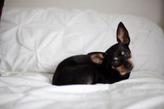 Corona the ChiPin Chihuahua Pinscher Mix