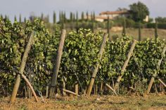 A local vineyard with views from our Me & Mom villa in Maremma.