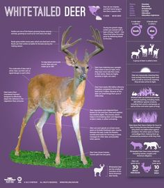 Did you know whitetailed deer can communicate with their tails? And rotate their ears 180 degrees? Discover more fascinating facts about these adaptable creatures w/ @PBS Nature