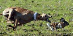 Greyhound in action...