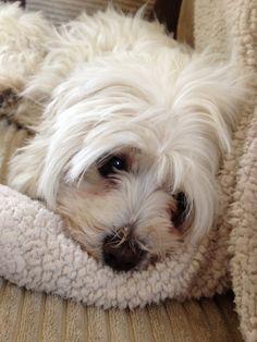 Maltese dog cute
