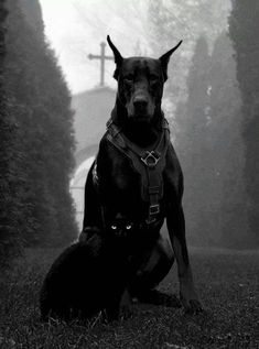 The Doberman Pinscher is among the most popular breed of dogs in the world. Known for its intelligence and loyalty, the Pinscher is both a police- favorite Black Doberman, Doberman Love, Black Pitbull, Big Dogs, Cute Dogs, Dogs And Puppies, Doggies, Beautiful Dogs, Animals Beautiful