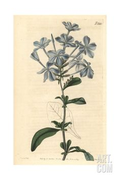 Phlox-like Leadwort, Plumbago Capensis Giclee Print by John Curtis at Art.com