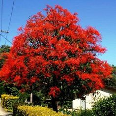 Brachychiton acerifolius is one of the world's most beautiful flowering trees. Most of the year it is the perfect shade tree, with a straight trunk and a canopy of fluttering green leaves. In late spr